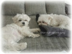 2 weiße Hunde